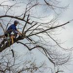 Potatura acrobatica dei tigli secolari nel parco - Ombelico - Birreria con Cucina a Rivoli - 14