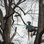 Potatura acrobatica dei tigli secolari nel parco - Ombelico - Birreria con Cucina a Rivoli - 11