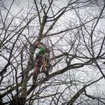 Potatura acrobatica dei tigli secolari nel parco - Ombelico - Birreria con Cucina a Rivoli - 2