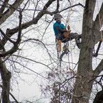 Potatura acrobatica dei tigli secolari nel parco - Ombelico - Birreria con Cucina a Rivoli - 1