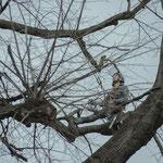 Potatura acrobatica dei tigli secolari nel parco - Ombelico - Birreria con Cucina a Rivoli - 4