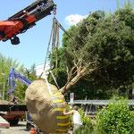 Eberhard_Gartenbau_AG, 8302 Kloten Baumpflanzungen