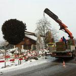 Transporte von grossen Pflanzen, Eberhard Gartenbau AG