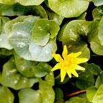 Scharbockskraut - verwendbar vor der Blüte