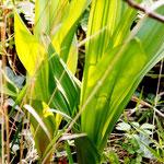 Herbstzeitlose - ein kräftiger gebündelter Blattansatz