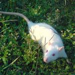 Ratapette