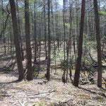 素敵なカラマツ林の台地です!小沢も流れていてテントを張りたいぐらいです!