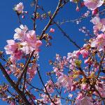早咲きの桜が素晴らしい