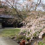 桜が散り始めてました