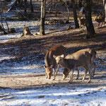 おせち?を食べる笠取小屋の鹿ちゃんたち