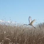 渡良瀬遊水地でみた鳥