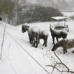 Cleeberg ist bekannt für die Aufzucht der Poitou-Esel