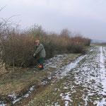 Das Wild braucht Lücken im Randbewuchs, damit es im Gehölz verschwinden kann (Februar 2013)