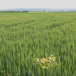Am Rande der Magertriften echte Kamille im Gerstenfeld