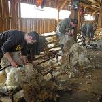 Schafschur – notwendig, schweißtreibend, aber nicht kostendeckend
