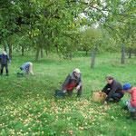 Die vielen herabgefallenen Äpfel bilden einen Teppich, da sind die Körbe schnell voll.