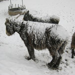 Die Poitou-Esel sind sehr groß und auch robust, was sie bei dem gegebenen Wetter unter Beweis stellen müssen