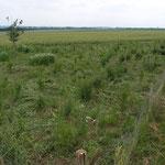 In den ersten Jahren mussten wir die Pflanzen freistellen und Disteln beseitigen (Juni 2005)