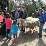 Die Schafböcke werden ausgeführt