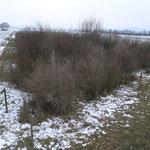 Zehn Jahre nach Anpflanzung ist die Feldholzinsel ein vollwertiger Trittstein (Februar 2013)