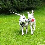 """Fanny vom Furlbach und Somora´s Karamel Kiss beim """"Paarlauf""""...14.06.2017"""