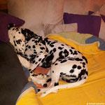 Forrest Gump vom Furlbach kuschelt sich ins Sofa...21.08.2017