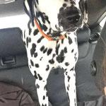 June Carter vom Furlbach auf dem Weg ins Hundewellnes 12.02.2017