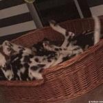 Cooper vom Furlbach ebenfalls totale Entspannung im Körbchen...21.08.2017