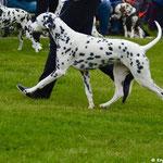 """Kryddhundens Ice-Candy """"Candy"""" LUA auf Ausstellung...07.06.2017"""