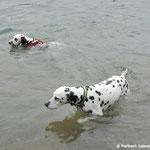 Just Bonny vom Furlbach und Papa Attilla vom Sayner Schloß beim gemeinsamen baden...16.07.2017