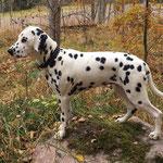 "Kryddhundens Ice-Vanilla ""Nilla"" HUA...17.10.2016"