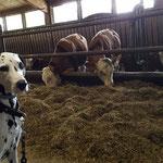 Ida Indiana vom Furlbach macht Urlaub auf dem Bauernhof im Bayrischen Wald...10.08.2017