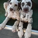 Ridotto Ysolde LUA & Ridotto Yaromir zwei wunderhübsche Welpen von Irma la Douce vom Furlbach im Ridotto Kennel