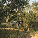 Kurt Russel vom Furlbach in den Olivenbäumen in der Toscana...22.10.2017