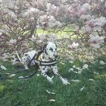 Just Bonny vom Furlbach unter dem Magnolienbaum...04.04.2017