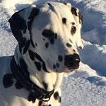 "Kryddhundens Ice-Vanilla ""Nilla"" HUA...12.11.2016"