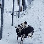Galina vom Furlbach und Harrison Ford vom Furlbach voll in Schnee-Action...03.12.2017