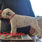"Kryddhundens Ice-Chokolate ""Tassa"" LUA"