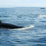 Orca's, Pacific Ocean bij Vancouver Island