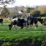 牛もまた沢山集まってきました。
