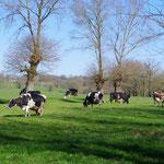 天気が良くて牛も気持ちが良さそうです。