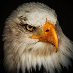 Weisskopfseeadler 1
