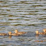 Babyenten auf dem River Ness