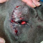 Augenchirurgie Dogge: Entropiumoperation Karoauge