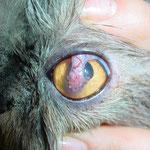 Augenchirurgie Perserkatze: Hornhautdefekt versorgt mittels eines Bindehautlappens