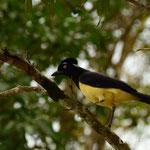 Plush-crested Jay (keine Ahnung, wie der Vogel auf Deutsch heisst)