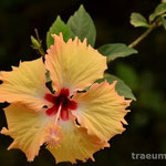 Huebche Blume