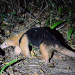Tamandua oder kleiner Ameisenbaer am Camping do Gordo