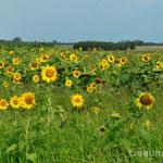 heute strahlt die Sonne mit den Blumen um die Wette