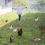 """ALT=""""Hühner und Hähne im riesigen Auslauf"""""""
